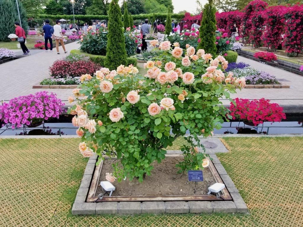 White rose in Ashikaga Flower Park.
