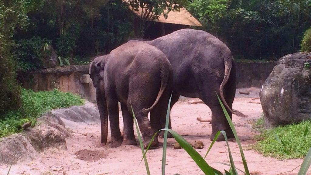 Elephants in Singapore Zoo
