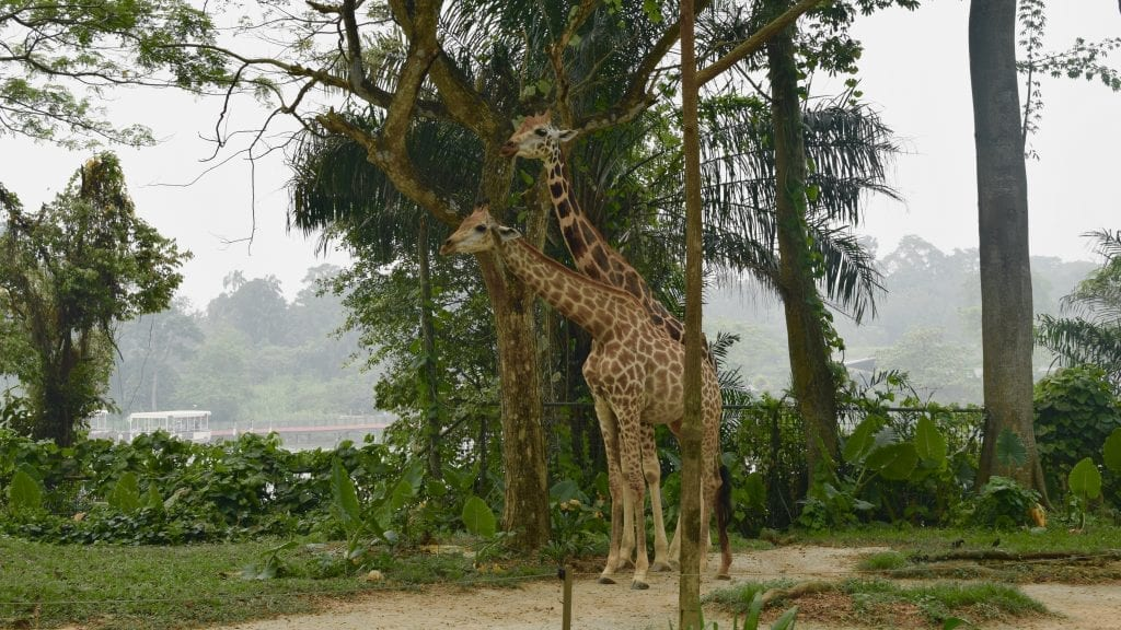 Giraffe in Singapore Zoo. A visit to Singapore Zoo should be on top of your 4 Day Singapore Itinerary.