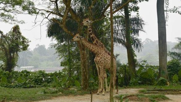 Giraffe in Singapore Zoo