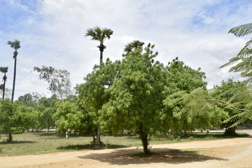 Green treen in the Bagan archaeological complex