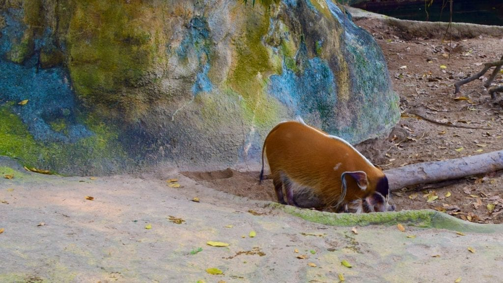 Red River Hog in Singapore Zoo