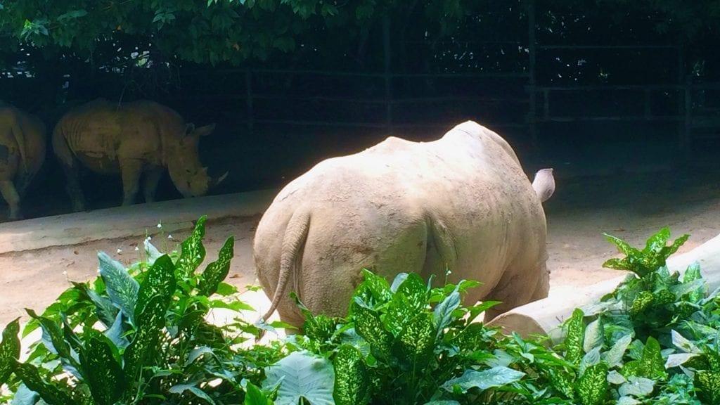 Rhinoceros in Singapore Zoo