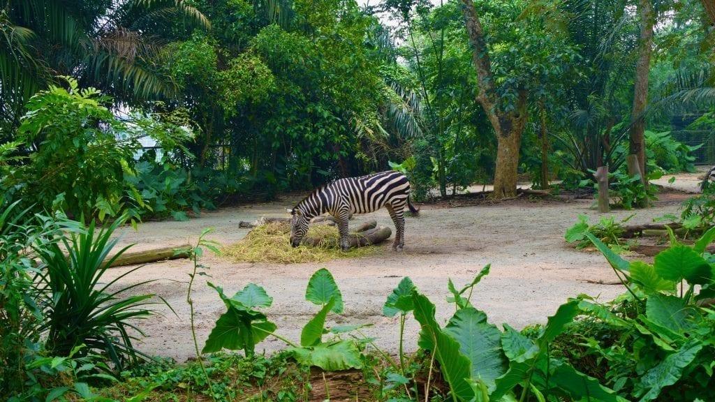 Zebra in Singapore Zoo