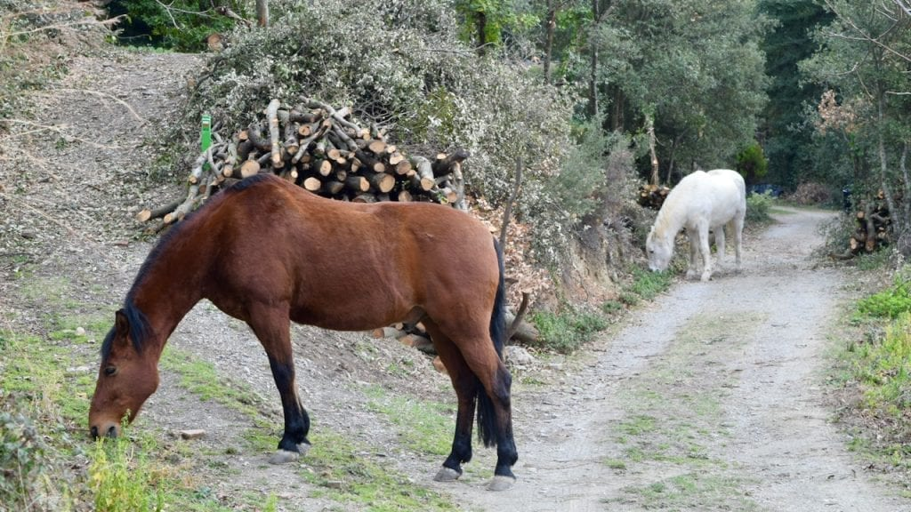 Two horses are playing in the village of Montseny.