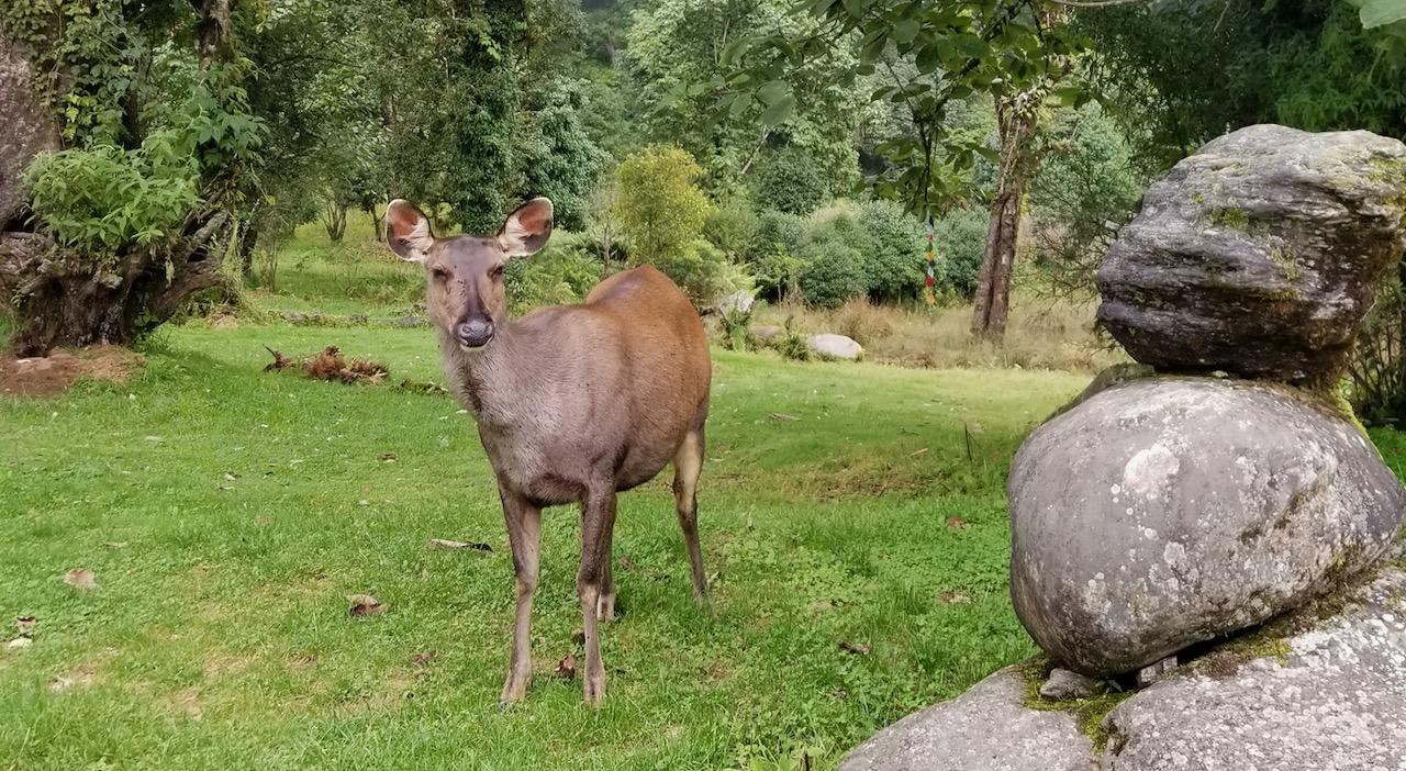 Deers in Royal Botanical Park in Bhutan