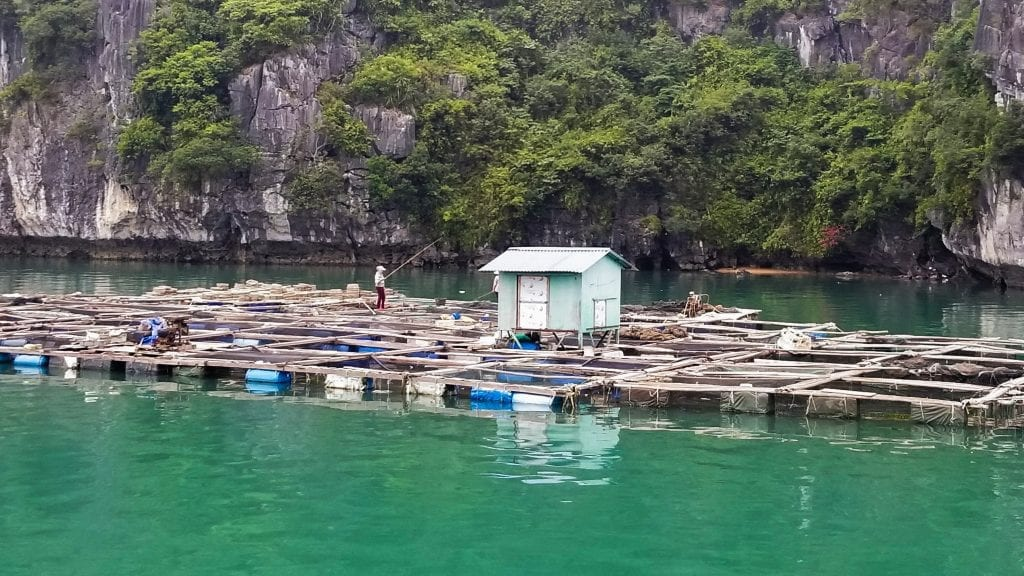 A fisherman is catching fish in Cai Beo fishing village in Lan Ha Bay