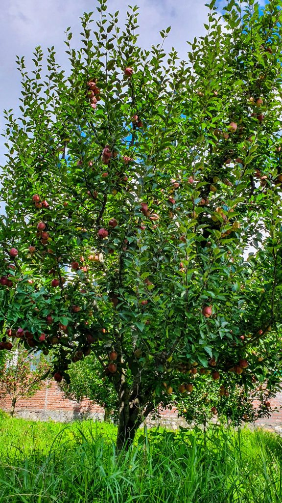 Apple Orchards in Manali