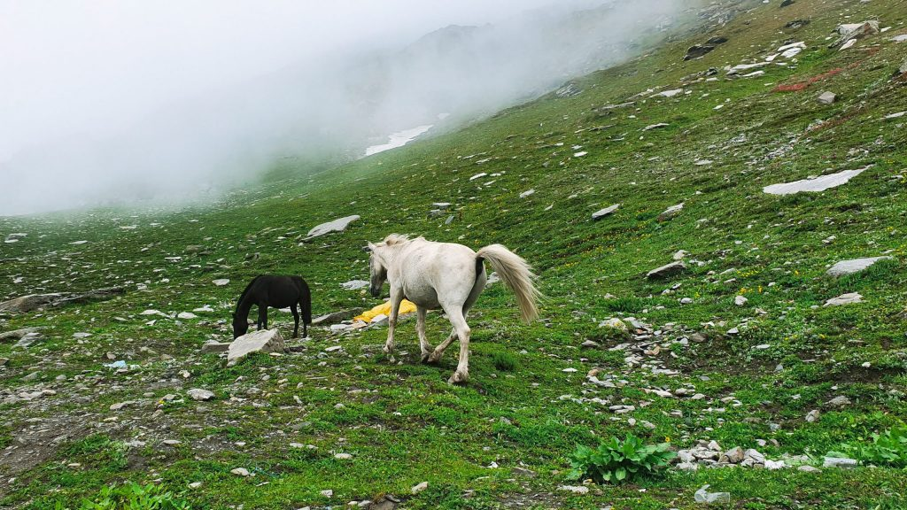 Two horses are playing in the Rohtang pass on the way to Spiti Valley from Manali.