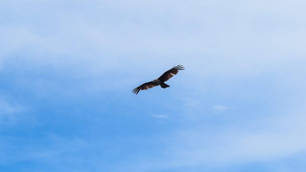 Eagle in Langkawi
