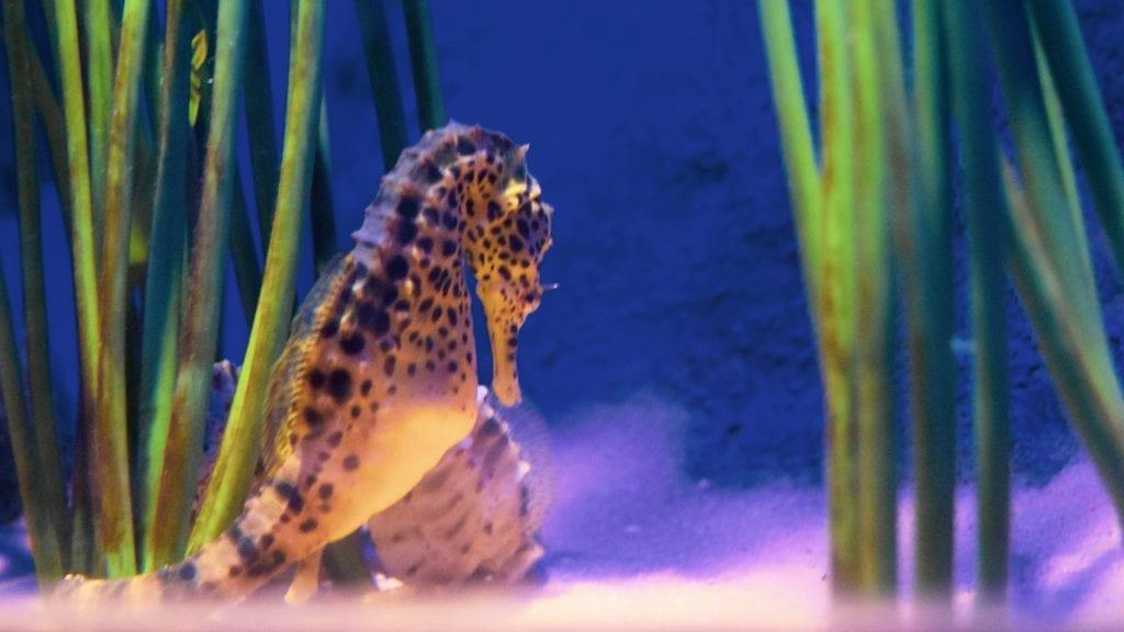 horse Fish in Langkawi Underwater World