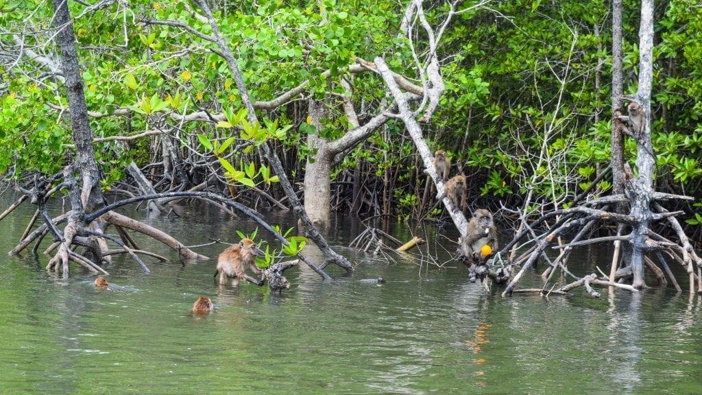 Monkeys eating oranges in Langkawi