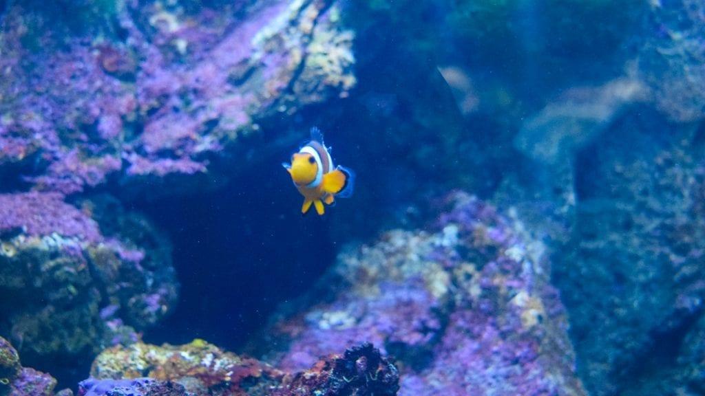 Nemo fish in Underwater World Langkawi - things to see in Langkawi