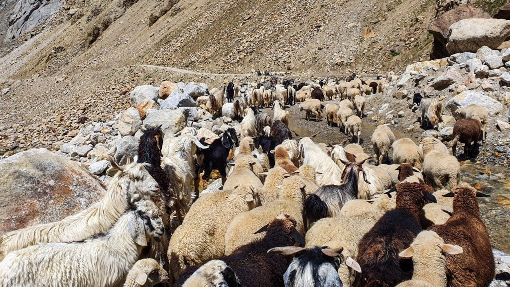 Sheep has blocked road in Spiti Valley