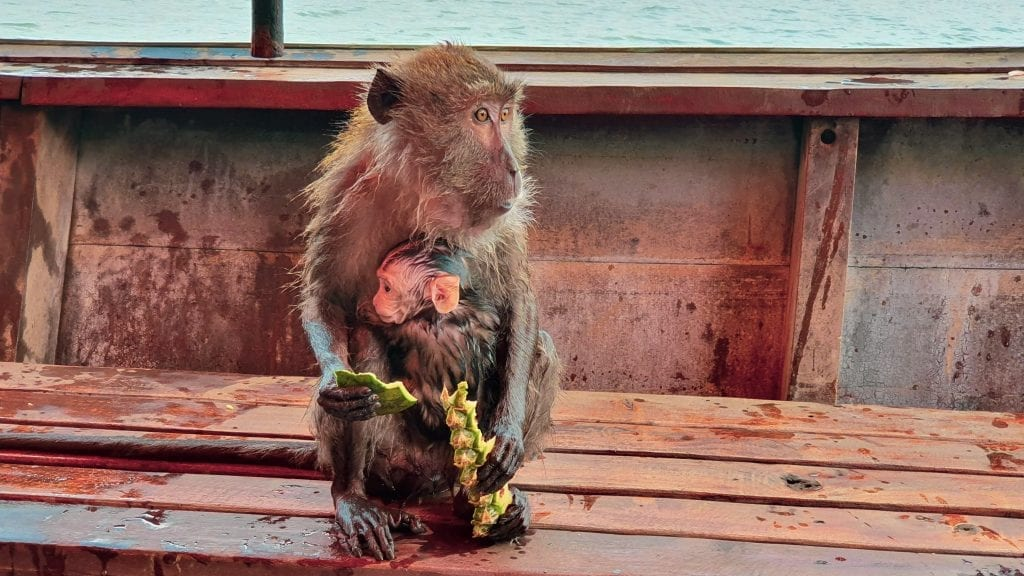 Monkey with Kid on a boat in Thailand