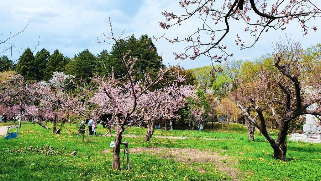 Cherry Blossom in Maruyama Koen in Hokkaido