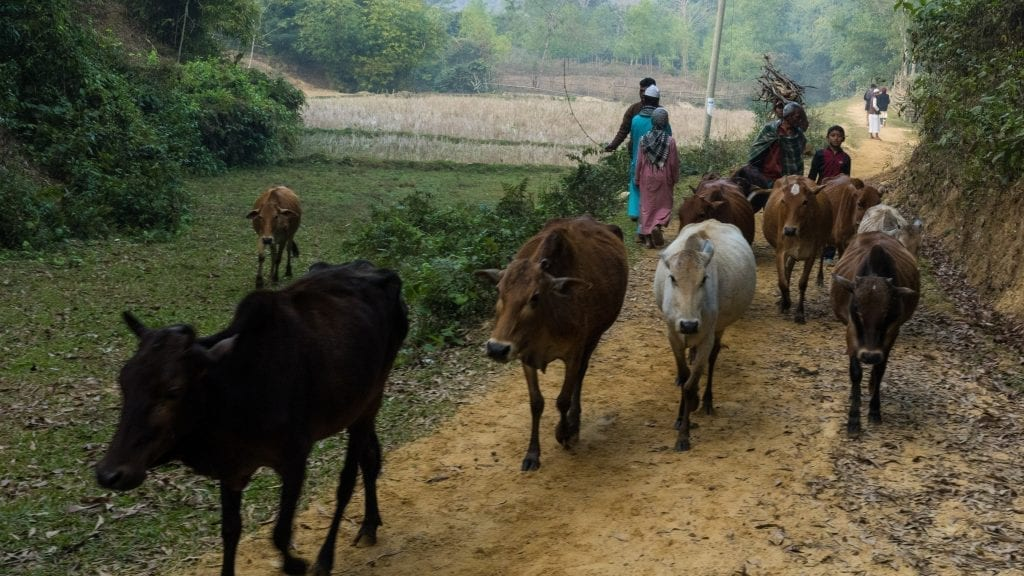 Cows returning home in Bangladesh