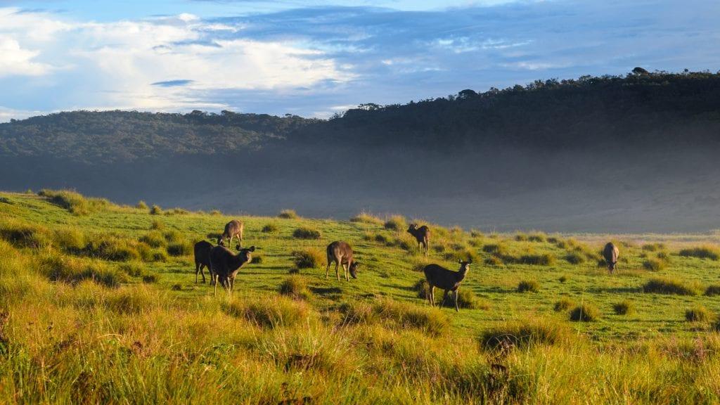 Deer in Horton's National Plain