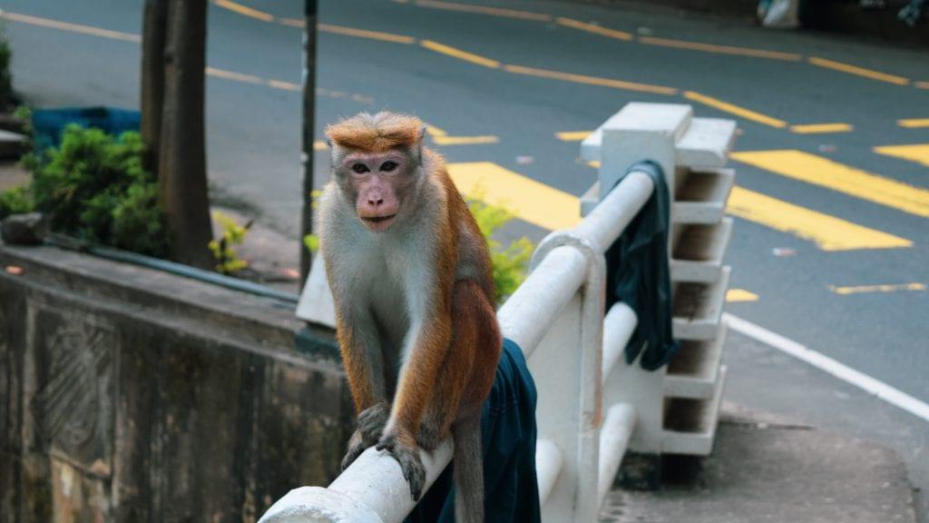 Monkey near Ravana Fall in Ella