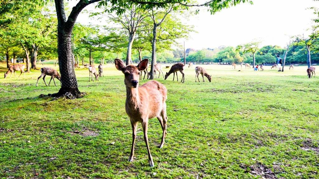 Deer in Nara Park - 3 Day Kyoto Itinerary