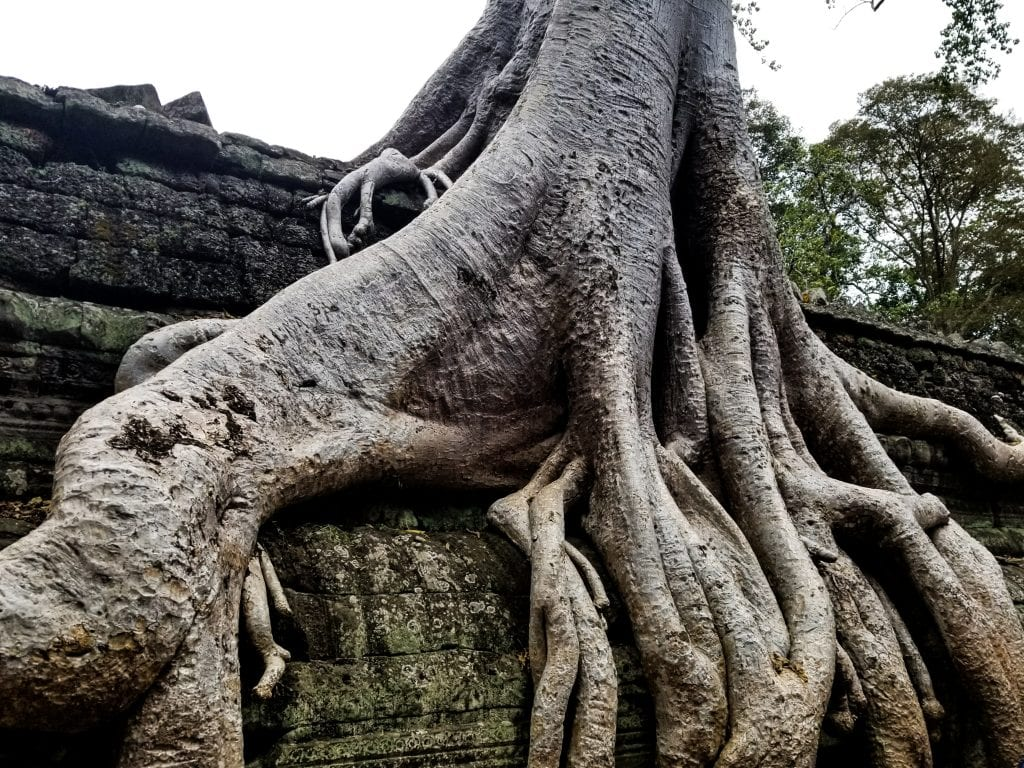 Big Tree in Ta Prohm