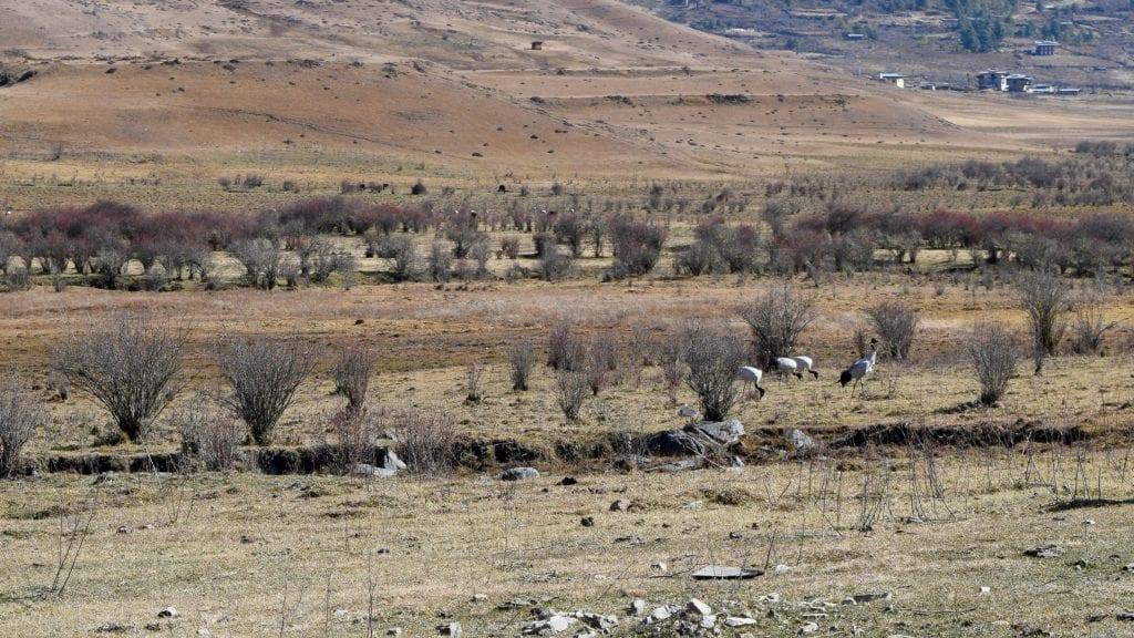 Black Neck Crane in Phobjikha Valley