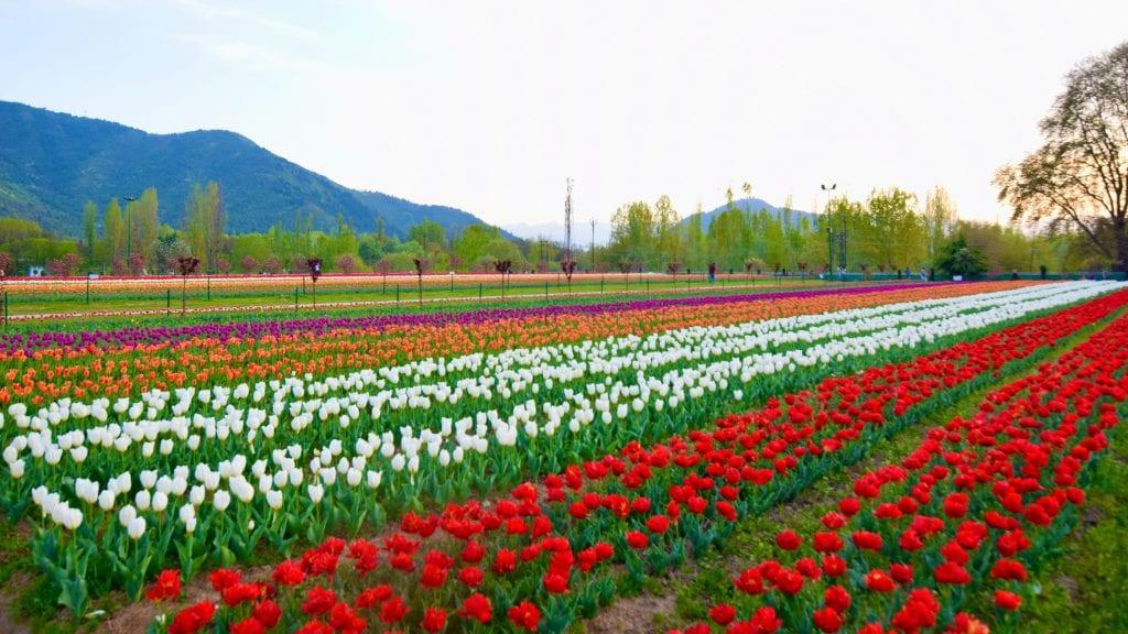 Colorful Tulips in Srinagar