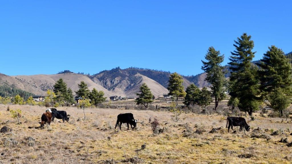 Cows in Phobjikha Valley