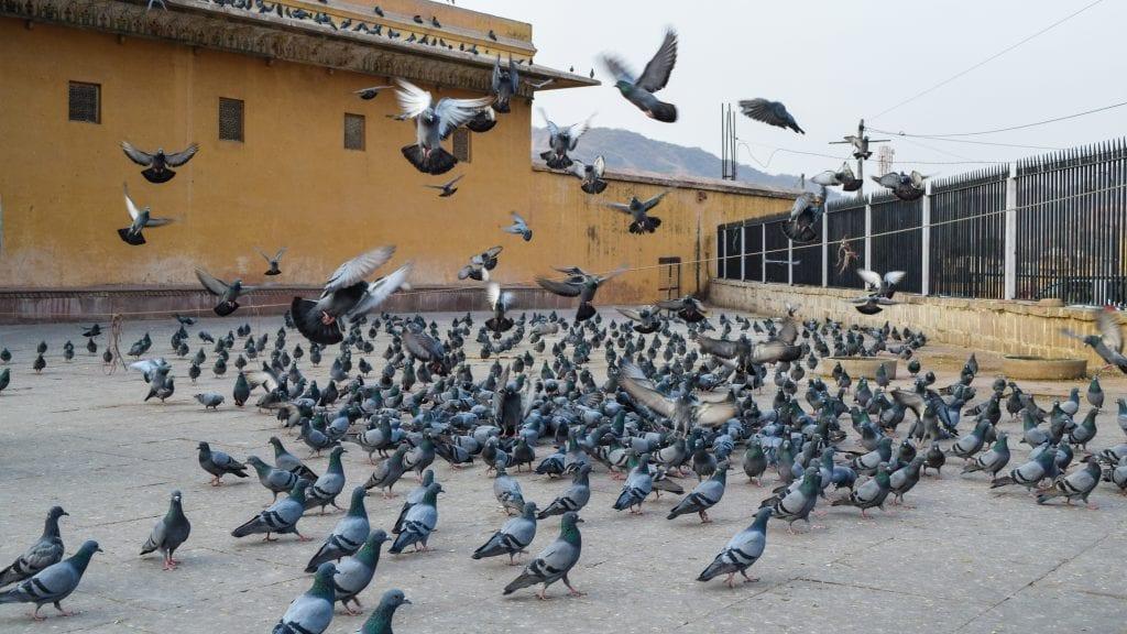 Pigeons inside Amber Palace